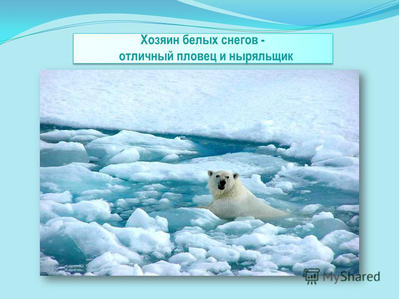 Хозяин белых снегов - отличный пловец и ныряльщик
