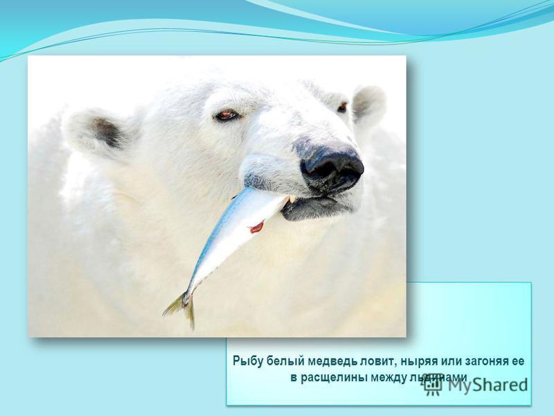 Рыбу белый медведь ловит, ныряя или загоняя ее в расщелины между льдинами Рыбу белый медведь ловит, ныряя или загоняя ее в расщелины между льдинами