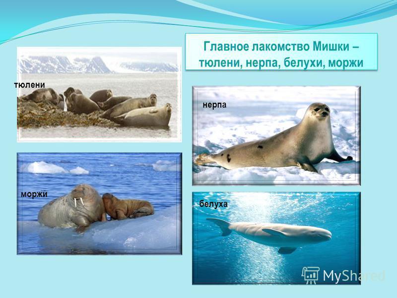 Главное лакомство Мишки – тюлени, нерпа, белухи, моржи тюлени нерпа моржи белуха