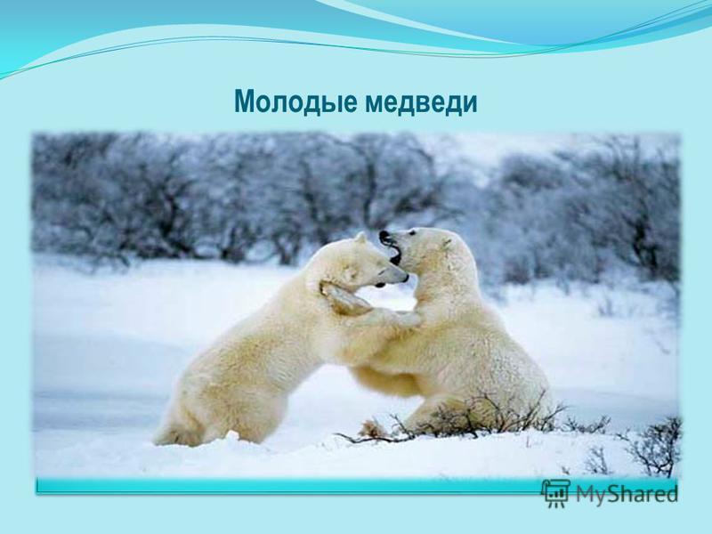 Молодые медведи