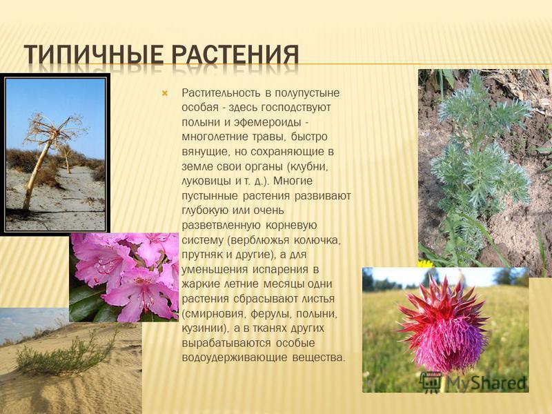 Растительность в полупустыне особая - здесь господствуют полыни и эфемероиды - многолетние травы, быстро вянущие, но сохраняющие в земле свои органы (клубни, луковицы и т. д.). Многие пустынные растения развивают глубокую или очень разветвленную корн