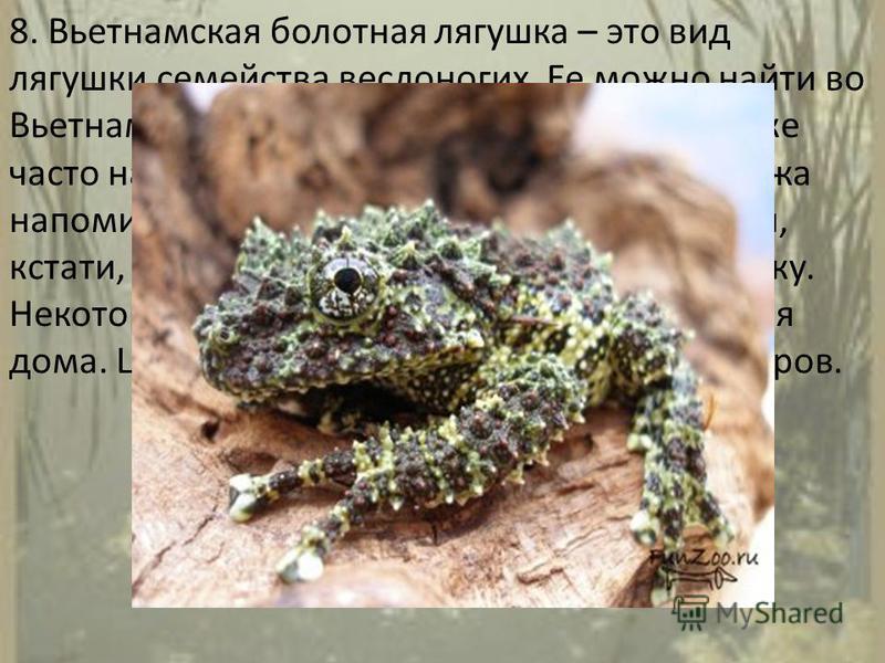 8. Вьетнамская болотная лягушка – это вид лягушки семейства веслоногих. Ее можно найти во Вьетнаме и, возможно, в Китае. Лягушку также часто называют моховой из-за того, что ее кожа напоминает мох, растущий на скале, который, кстати, предоставляет ей