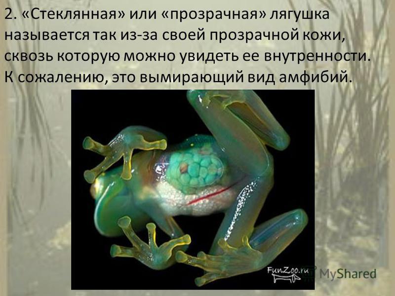 2. «Стеклянная» или «прозрачная» лягушка называется так из-за своей прозрачной кожи, сквозь которую можно увидеть ее внутренности. К сожалению, это вымирающий вид амфибий.