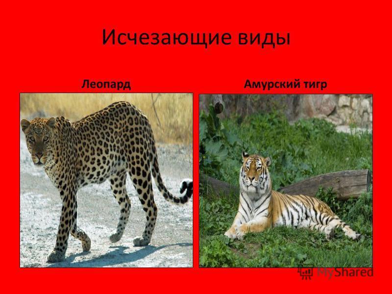 Исчезающие виды Леопард Амурский тигр