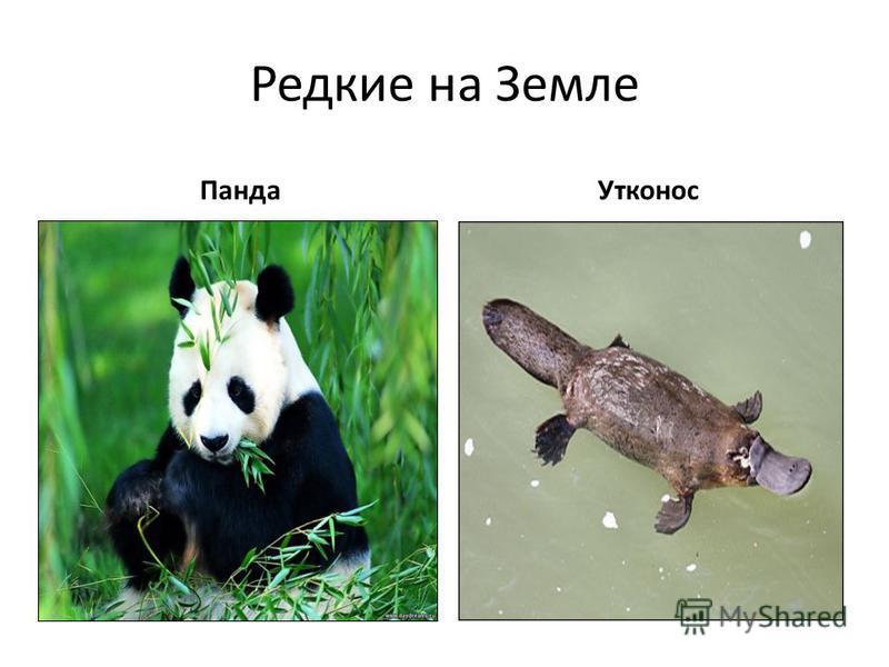 Редкие на Земле Панда Утконос