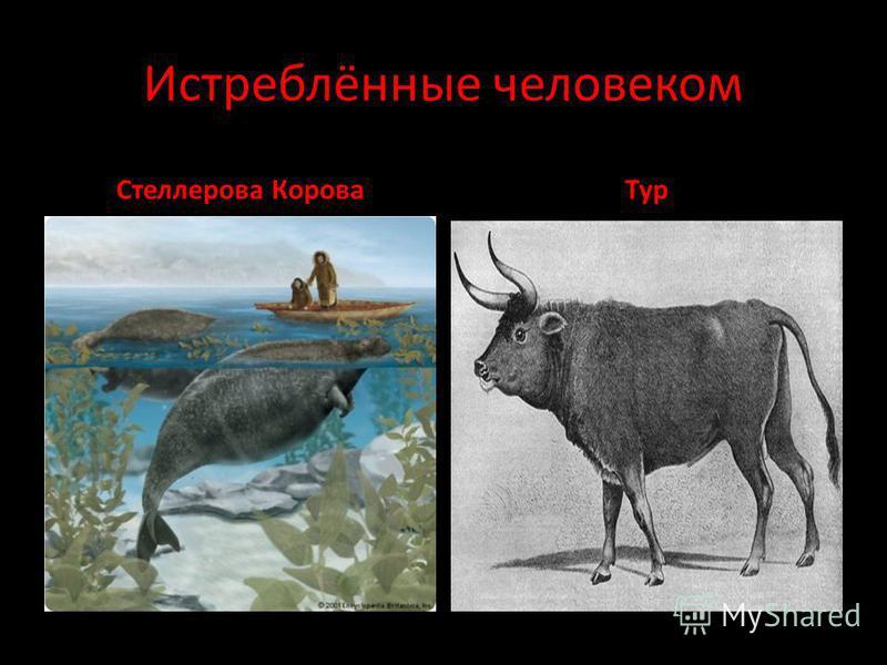 Истреблённые человеком Стеллерова Корова Тур