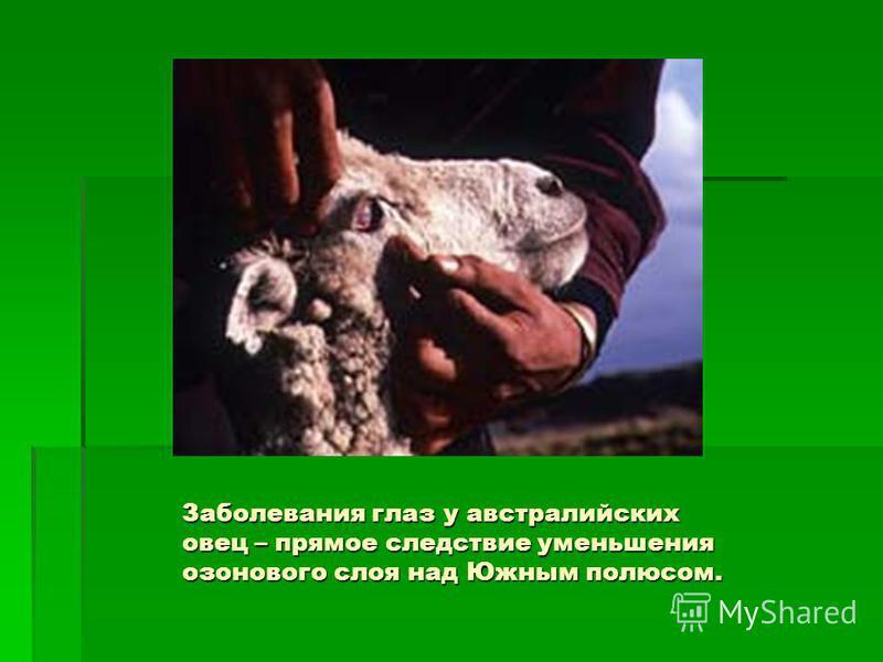 Заболевания глаз у австралийских овец – прямое следствие уменьшения озонового слоя над Южным полюсом.