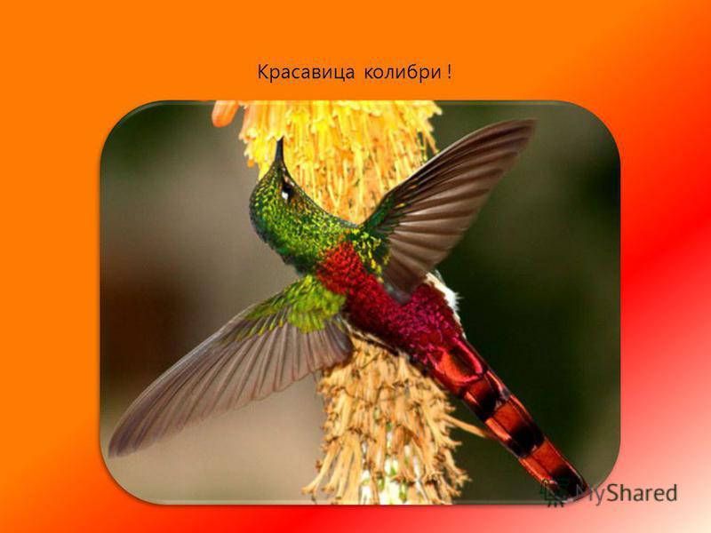 В первом издании Красной книги было написано про 12 видов колибри. особый интерес представляет лесной колибри Маргариты (Phaethornis margarettae) на юго-востоке Бразилии. Всего 10 птиц этого вида были найдены.