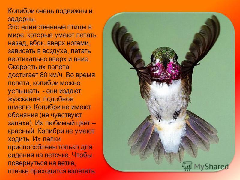 Колибри имеет очень красивую, необычную окраску, которая к тому же меняется в зависимости от угла освещения солнечными лучами и от угла зрения, под которым на нее смотришь.