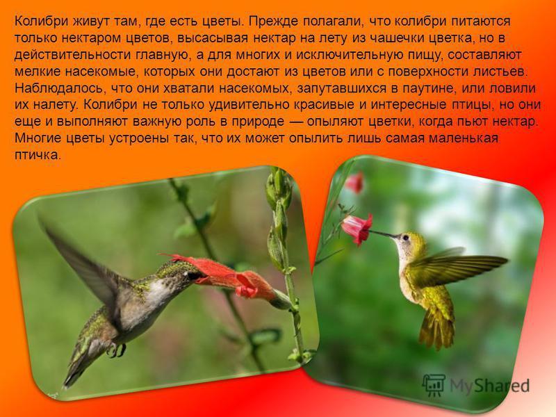 Колибри очень подвижны и задорны. Это единственные птицы в мире, которые умеют летать назад, вбок, вверх ногами, зависать в воздухе, летать вертикально вверх и вниз. Скорость их полёта достигает 80 км/ч. Во время полета, колибри можно услышать - они