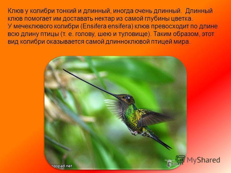Колибри живут там, где есть цветы. Прежде полагали, что колибри питаются только нектаром цветов, высасывая нектар на лету из чашечки цветка, но в действительности главную, а для многих и исключительную пищу, составляют мелкие насекомые, которых они д