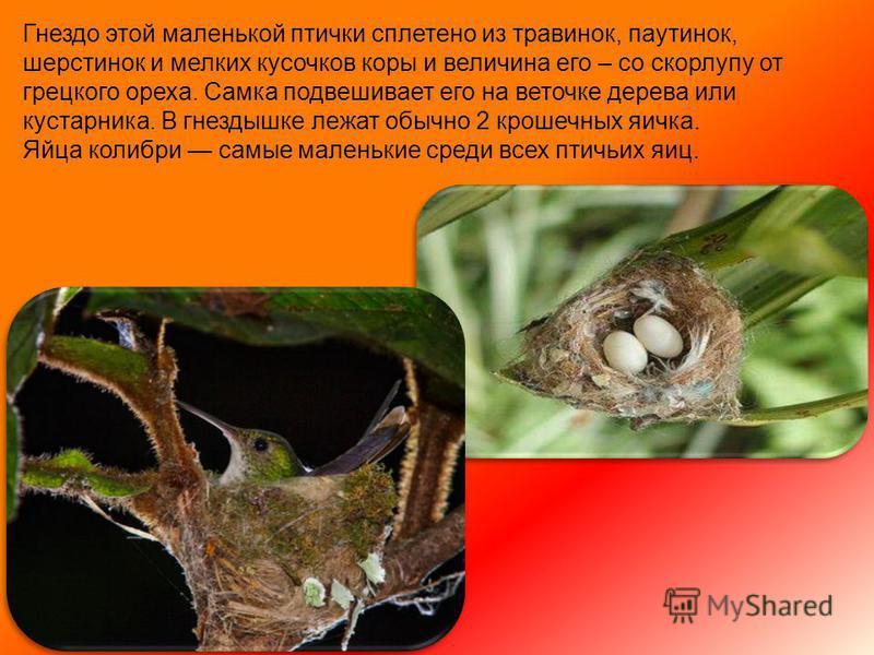 Голос колибри в основном слабое чириканье, но некоторые, как например, наименьший представитель семейства птица-муха, поют.