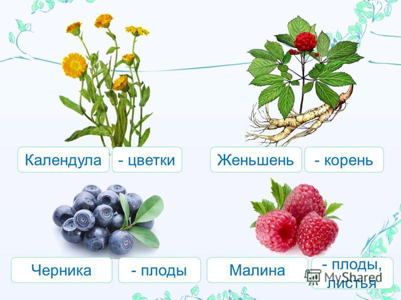 Календула Малина Черника Женьшень - цветки - корень - плоды - плоды, листья