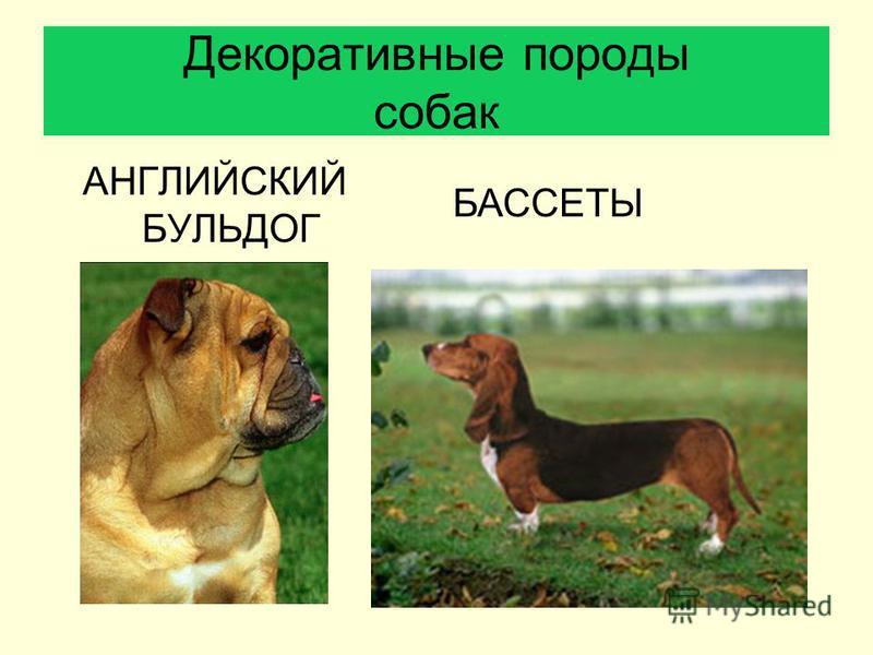 Декоративные породы собак АНГЛИЙСКИЙ БУЛЬДОГ БАССЕТЫ
