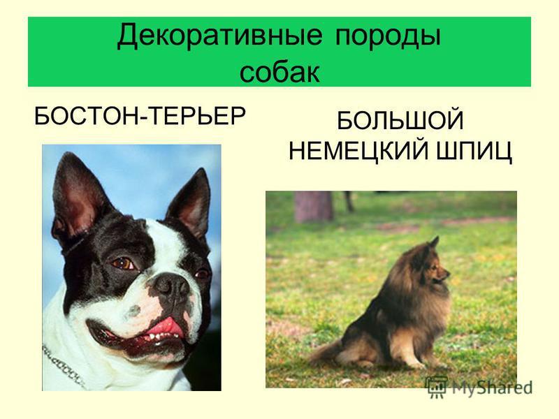 БОСТОН-ТЕРЬЕР Декоративные породы собак БОЛЬШОЙ НЕМЕЦКИЙ ШПИЦ