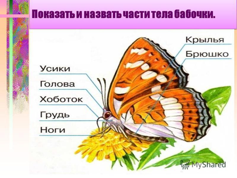 Показать и назвать части тела бабочки.