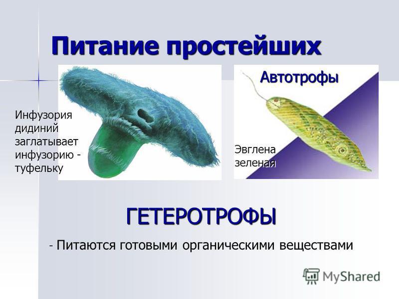 Питание простейших ГЕТЕРОТРОФЫ - Питаются готовыми органическими веществами сидений Инфузория сидений заглатывает инфузорию - туфельку Эвглена зеленая Автотрофы