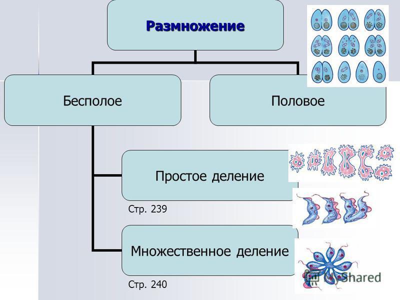 Размножение Бесполое Простое деление Множественное деление Половое Стр. 239 Стр. 240