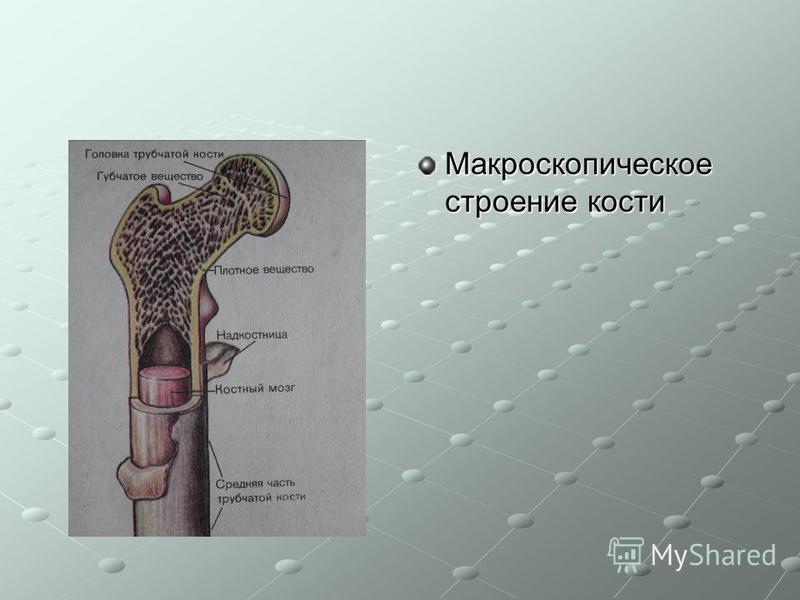 Макроскопическое строение кости