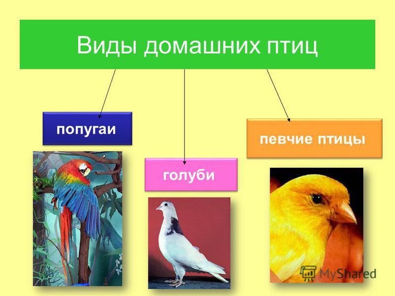 Виды домашних птиц попугаи певчие птицы голуби