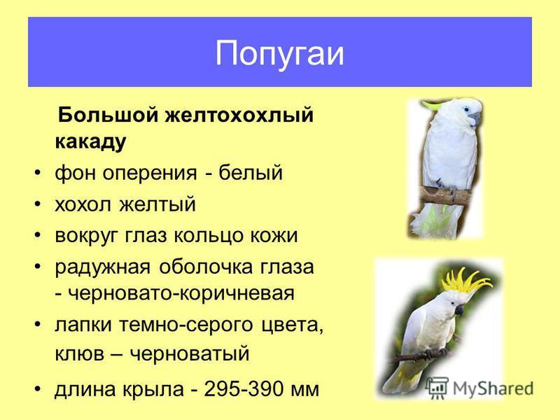 Попугаи Большой желтохохлый какаду фон оперения - белый хохол желтый вокруг глаз кольцо кожи радужная оболочка глаза - черновато-коричневая лапки темно-серого цвета, клюв – черноватый длина крыла - 295-390 мм