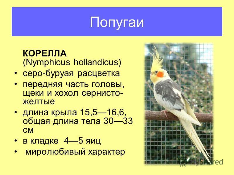 КОРЕЛЛА (Nymphicus hollandicus) серо-бурая расцветка передняя часть головы, щеки и хохол сернисто- желтые длина крыла 15,516,6, общая длина тела 3033 см в кладке 45 яиц миролюбивый характер Попугаи