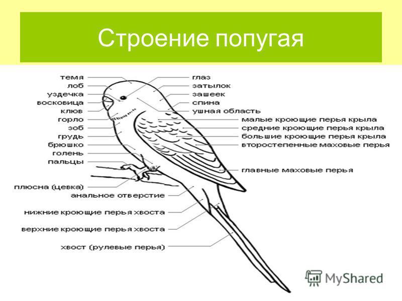 Строение попугая