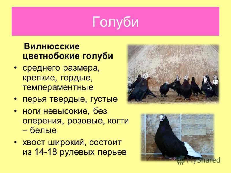 Вилнюсские цветнобокие голуби среднего размера, крепкие, гордые, темпераментные перья твердые, густые ноги невысокие, без оперения, розовые, когти – белые хвост широкий, состоит из 14-18 рулевых перьев Голуби