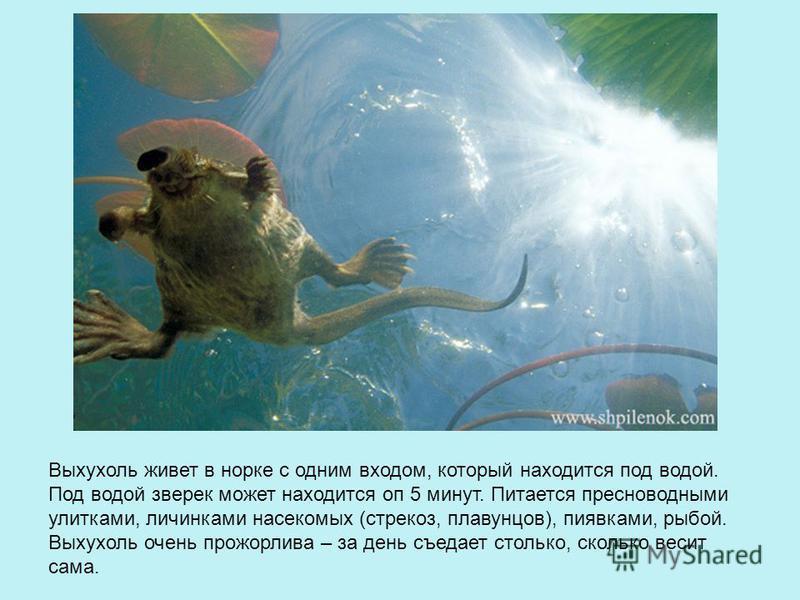 Выхухоль живет в норке с одним входом, который находится под водой. Под водой зверек может находится оп 5 минут. Питается пресноводными улитками, личинками насекомых (стрекоз, плавунцов), пиявками, рыбой. Выхухоль очень прожорлива – за день съедает с