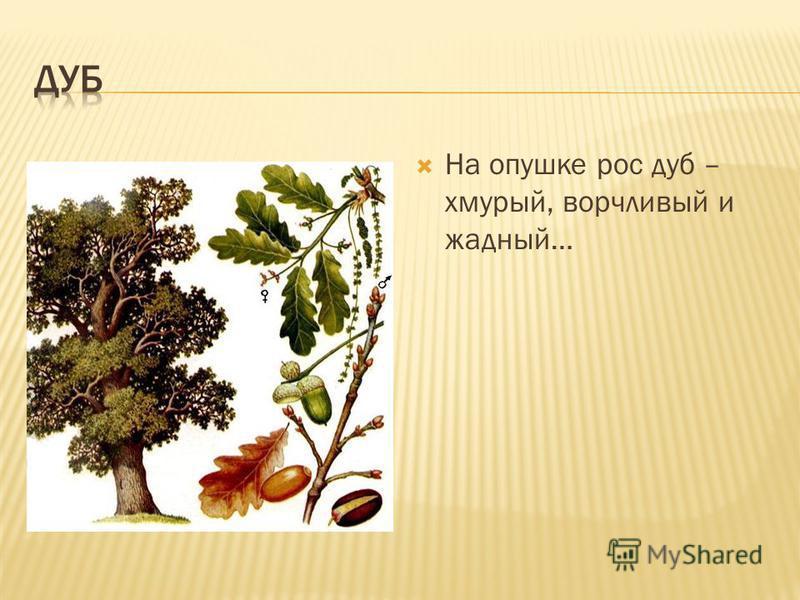 На опушке рос дуб – хмурый, ворчливый и жадный…
