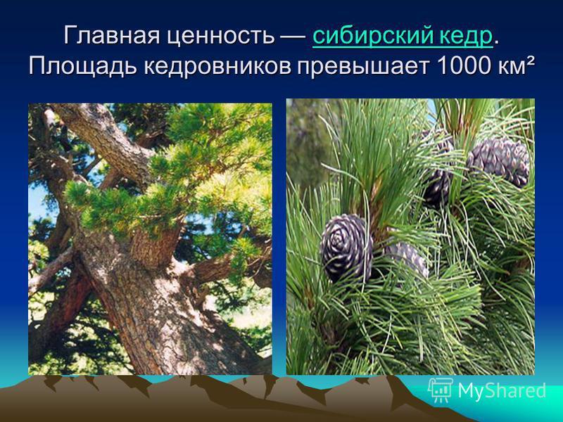 Главная ценность сибирский кедр. Площадь кедровников превышает 1000 км² сибирский кедр сибирский кедр