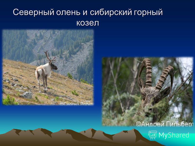 Северный олень и сибирский горный козел