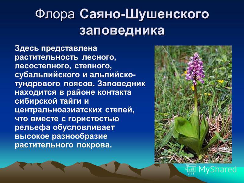 Флора Саяно-Шушенского заповедника Здесь представлена растительность лесного, лесостепного, степного, субальпийского и альпийско- тундрового поясов. Заповедник находится в районе контакта сибирской тайги и центральноазиатских степей, что вместе с гор
