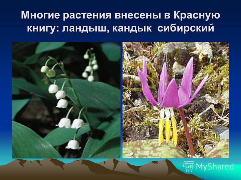 Многие растения внесены в Красную книгу: ландыш, кандык сибирский Кандык сибирский.