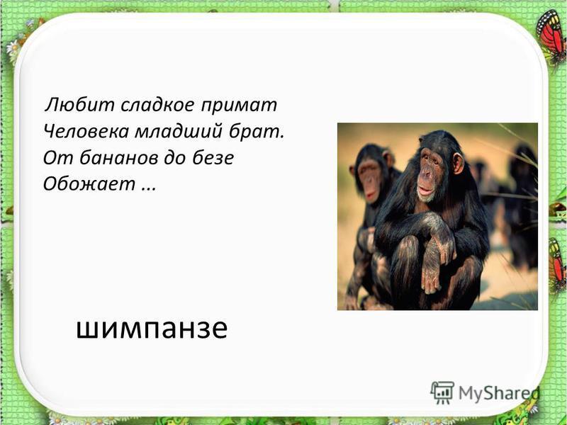 шимпанзе Любит сладкое примат Человека младший брат. От бананов до безе Обожает...