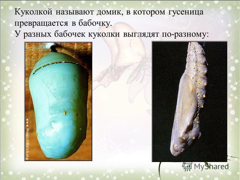 Куколкой называют домик, в котором гусеница превращается в бабочку. У разных бабочек куколки выглядят по-разному: