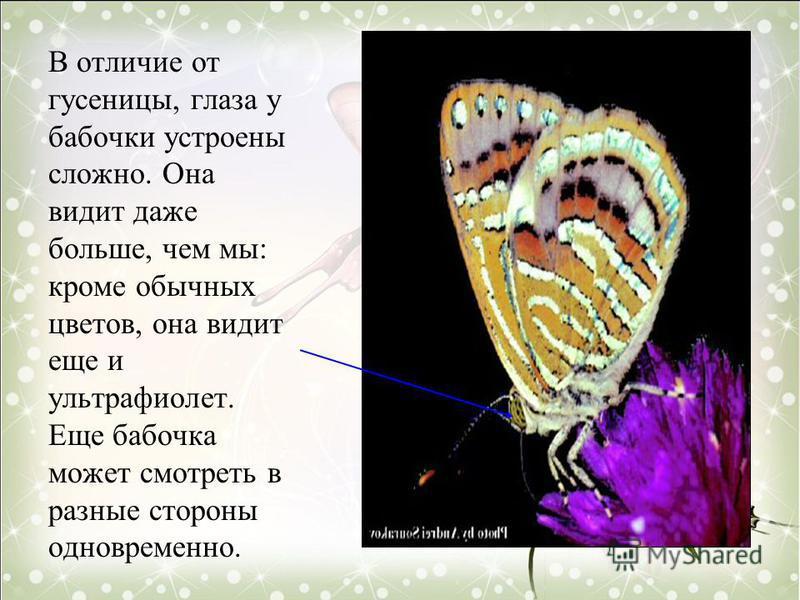 В отличие от гусеницы, глаза у бабочки устроены сложно. Она видит даже больше, чем мы: кроме обычных цветов, она видит еще и ультрафиолет. Еще бабочка может смотреть в разные стороны одновременно.