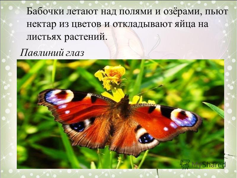 Бабочки летают над полями и озёрами, пьют нектар из цветов и откладывают яйца на листьях растений. Павлиний глаз