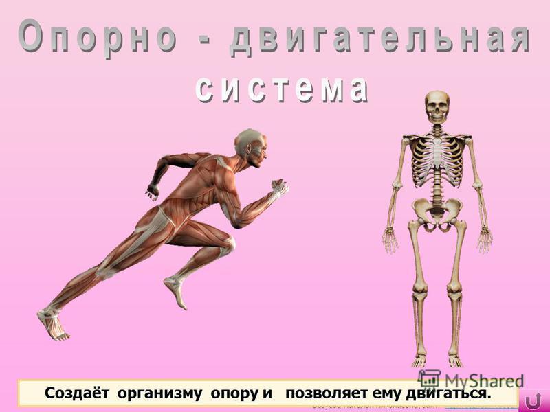 Создаёт организму опору и позволяет ему двигаться.