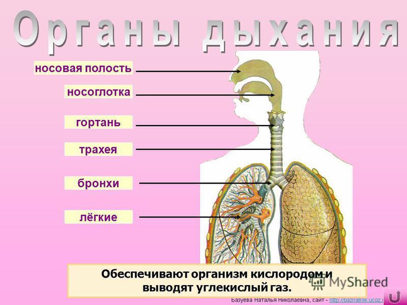 лёгкие бронхи трахея гортань носоглотка носовая полость Обеспечивают организм кислородом и выводят углекислый газ.