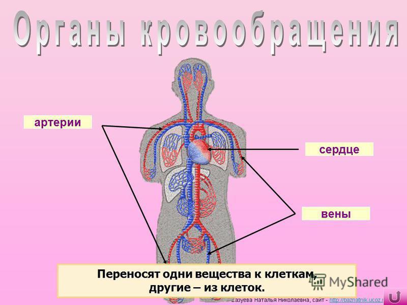 сердце артерии вены Переносят одни вещества к клеткам, другие – из клеток.