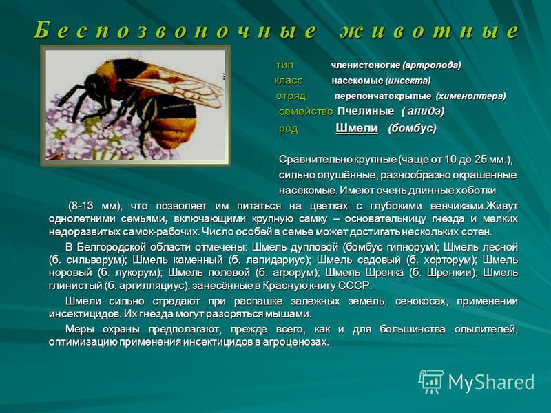 Б е с п о з в о н о ч н ы е ж и в о т н ы е тип членистоногие (артропода) тип членистоногие (артропода) класс насекомые (инсекта) класс насекомые (инсекта) отряд перепончатокрылые (хименоптера) отряд перепончатокрылые (хименоптера) семейство Пчелиные