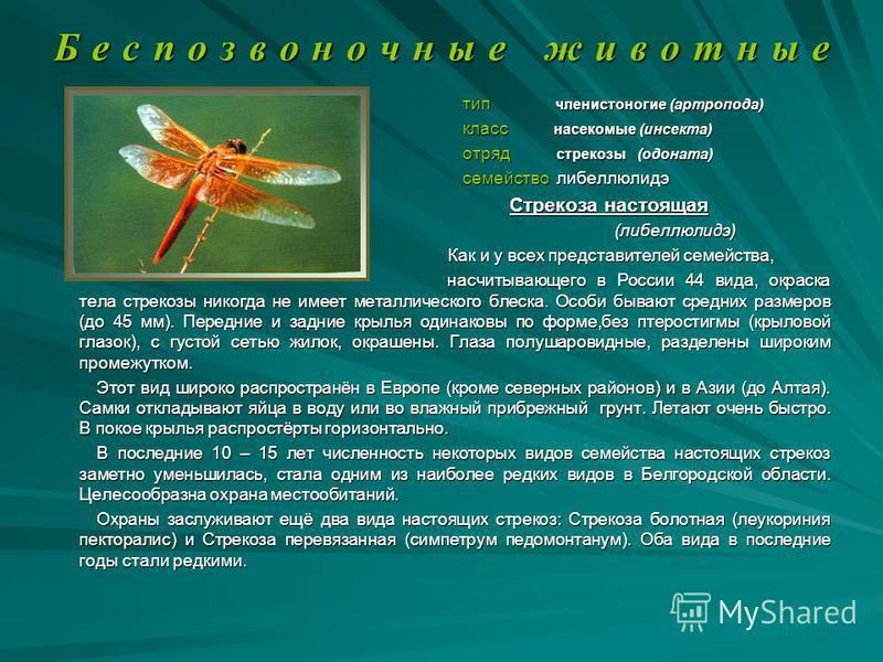 Б е с п о з в о н о ч н ы е ж и в о т н ы е тип членистоногие (артропода) тип членистоногие (артропода) класс насекомые (инсекта) класс насекомые (инсекта) отряд стрекозы (доната) отряд стрекозы (доната) семейство либеллюлидэ семейство либеллюлидэ Ст