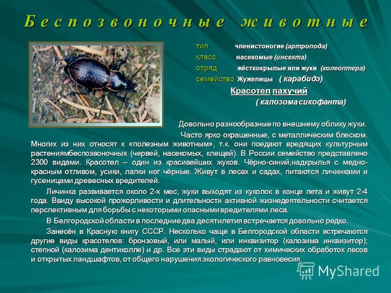 Б е с п о з в о н о ч н ы е ж и в о т н ы е тип членистоногие (артропода) тип членистоногие (артропода) класс насекомые (инсекта) класс насекомые (инсекта) отряд жёсткокрылые или жуки (колеоптера) отряд жёсткокрылые или жуки (колеоптера) семейство Жу
