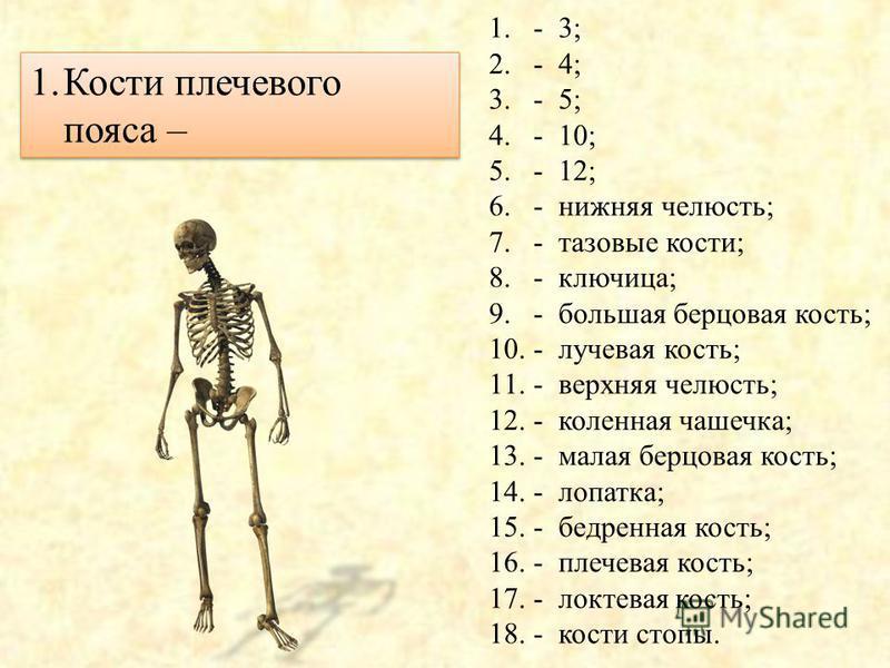 Скелет человека Правильные ответы