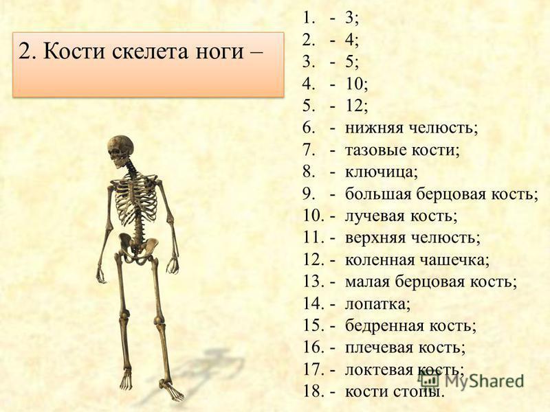 1.- 3; 2.- 4; 3.- 5; 4.- 10; 5.- 12; 6.- нижняя челюсть; 7.- тазовые кости; 8.- ключица; 9.- большая берцовая кость; 10.- лучевая кость; 11.- верхняя челюсть; 12.- коленная чашечка; 13.- малая берцовая кость; 14.- лопатка; 15.- бедренная кость; 16.-