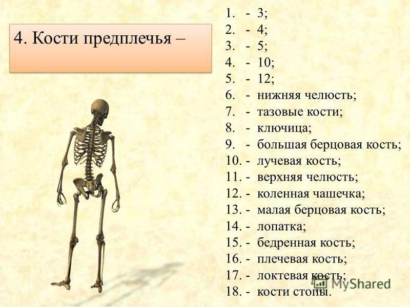 3. Кости голени - 1.- 3; 2.- 4; 3.- 5; 4.- 10; 5.- 12; 6.- нижняя челюсть; 7.- тазовые кости; 8.- ключица; 9.- большая берцовая кость; 10.- лучевая кость; 11.- верхняя челюсть; 12.- коленная чашечка; 13.- малая берцовая кость; 14.- лопатка; 15.- бедр