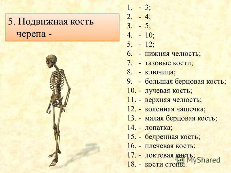 4. Кости предплечья – 1.- 3; 2.- 4; 3.- 5; 4.- 10; 5.- 12; 6.- нижняя челюсть; 7.- тазовые кости; 8.- ключица; 9.- большая берцовая кость; 10.- лучевая кость; 11.- верхняя челюсть; 12.- коленная чашечка; 13.- малая берцовая кость; 14.- лопатка; 15.-