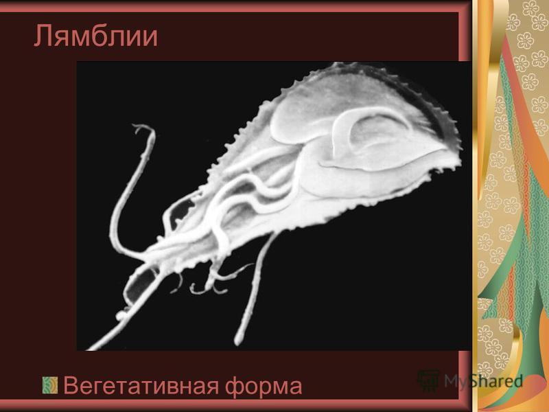Лямблии Жгутиковые паразиты, очень маленького размера