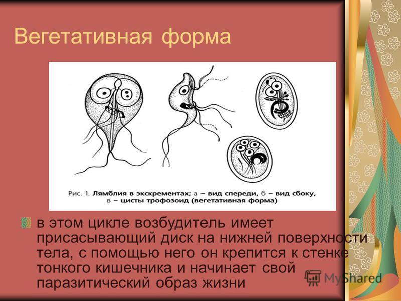 Лямблии Вегетативная форма